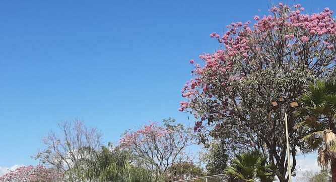 Florada de ipês-roxos embeleza o Clube
